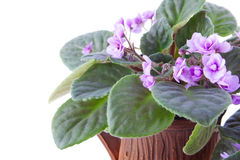 Delicate Lilac African Violet Royalty Free Stock Photos