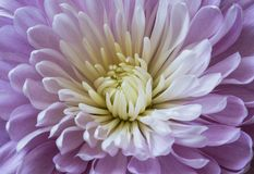 Delicate lilac chrysanthemum flower close up. Background Royalty Free Stock Photography