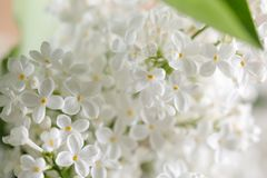 Delicate lilac flowers of white color. Close-up. Macro stock images