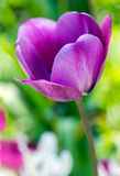 Delicate lilac tulip on flowerbed, Stock Image