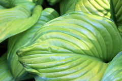 Delicate lines of hosta plant Royalty Free Stock Images