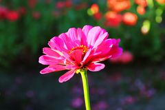 Delicate lone pink zinnia flower stock images