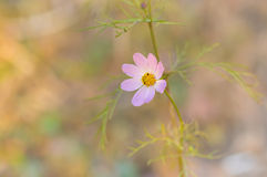 Delicate lonely cosmos flower Stock Photos
