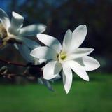 Delicate magnolia flower. Retro photo. Royalty Free Stock Photo