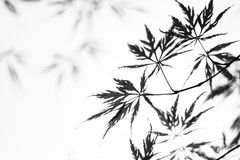 Delicate maple. Maple leafs in b&w, shallow depth of field Stock Photos