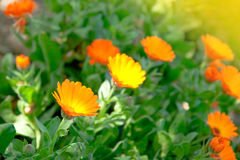 Delicate  marigold flower close up Royalty Free Stock Photo