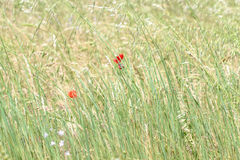 Delicate Meadow corn poppy Royalty Free Stock Photo
