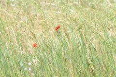 Delicate Meadow corn poppy. Tuscany Italy Maremma Italy Biologic Production Royalty Free Stock Photo