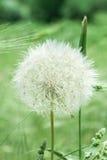 Delicate Meadow Dandelion. Tuscany Italy Maremma Italy Biologic Production Stock Image