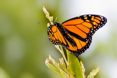 Delicate Monarch butterfly on a Plant. Monarch butterfly resting  on a Plant Royalty Free Stock Photography