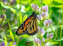 Monarch butterfly on a purple flower. A delicate monarch butterfly rests on a colorful flower in a pretty Michigan garden stock images