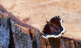 Delicate mourning cloak butterfly Stock Photos