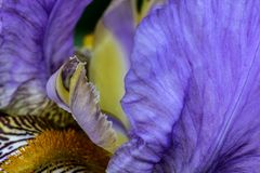 The delicate. multicolored Iris. Macro shot of the inner detail of a multicolored Iris flower Royalty Free Stock Images