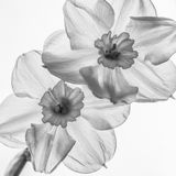 Delicate narcissus Stock Photo