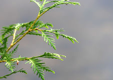 Delicate needle type leaves of a Cedar bush Stock Photos