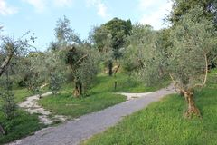 Delicate olive grove in Sirmione Italy stock photos