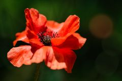 Delicate Orange Poppy Flower in the wind on a green spring meadow. royalty free stock image
