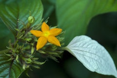 Delicate orange star-shaped flower on green background royalty free stock images