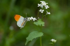 Delicate orange and white butterfly Anthocharis cardamines. Searching for nectar stock images