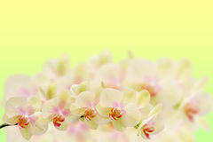 Delicate orchid branches on pastel gradient Royalty Free Stock Image