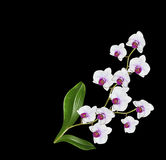 Delicate orchid flowers isolated on black background. Royalty Free Stock Photo