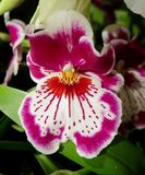 Delicate Orchid Royalty Free Stock Image