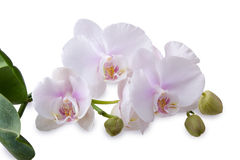 Delicate orchid Royalty Free Stock Images