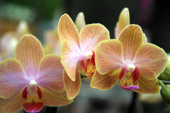 Delicate orchids Stock Photos