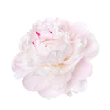 Delicate pale pink peony. Isolated on a white background Royalty Free Stock Photography