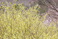 Delicate pale yellow flowers of Hyugamizuki with pink cherry blossoms behind,Hanamiyama Park,Fukushima,Tohoku,Japan. Stock Photo