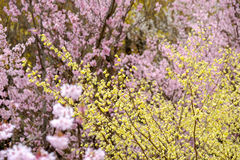 Delicate pale yellow flowers of Hyugamizuki with pink cherry blossoms behind,Hanamiyama Park,Fukushima,Tohoku,Japan. Stock Photography