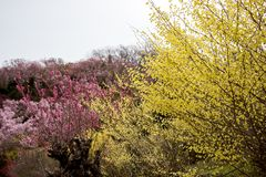 Delicate pale yellow flowers of Hyugamizuki,pink peach blossoms and pink cherry blossoms at Hanamiyama Park,Fukushima,Tohoku,Japan Royalty Free Stock Photo