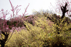 Delicate pale yellow flowers of Hyugamizuki,pink peach blossoms and pink cherry blossoms at Hanamiyama Park,Fukushima,Tohoku,Japan Royalty Free Stock Images
