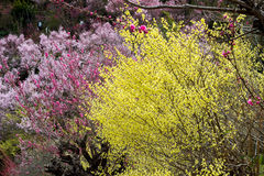 Delicate pale yellow flowers of Hyugamizuki,pink peach blossoms and pink cherry blossoms at Hanamiyama Park,Fukushima,Tohoku,Japan Stock Images