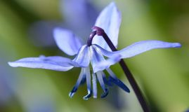 Delicate parasol of scilla siberica Royalty Free Stock Images
