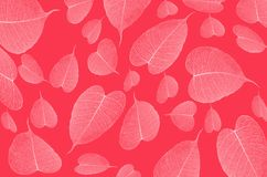 Delicate pattern of white veins on red background. Beautiful delicate pattern of white vein Bodhi leaves on red background Royalty Free Stock Photo