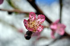 Delicate peach blossom on blue sky background Royalty Free Stock Photos