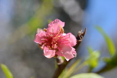 Delicate peach blossom on blue sky background Stock Image