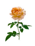 Delicate peach-colored rose Stock Images