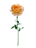 Delicate peach-colored rose Royalty Free Stock Image