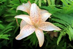 Delicate peach lily Stock Image