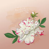 Delicate peony flower painted in watercolor. Vector greeting card with delicate spring peony flower in watercolor Stock Photography