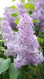 Blooming lilac royalty free stock photo