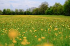 Field of wild Buttercup flowers seen in a large meadow in summertime. Delicate petals of the Buttercups of visible and the long storks, of which the field has Royalty Free Stock Photos