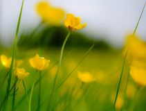 Shallow focus view of wild Buttercup flowers seen in a large meadow in summertime. Delicate petals of the Buttercups of visible and the long storks, of which Royalty Free Stock Image