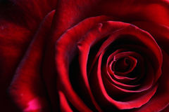 Delicate petals of a deep dark red rose Stock Photography