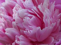 Delicate petals of the peony flower stock image