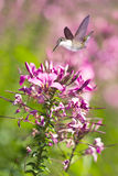Delicate petals of purple flower blooms with tiny Hummingbird Stock Images