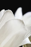 Delicate petals of a white tulip on a dark background. vertical Stock Image