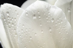 Delicate petals of a white tulip with a water drops on a dark background Stock Photos
